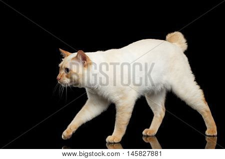 Curious Breed Mekong Bobtail Cat Blue eyed, Walking, Isolated Black Background, Color-point Fur