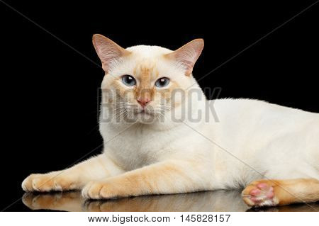 Adorable Breed Mekong Bobtail Cat, Rest on Isolated Black Background, Color-point Fur