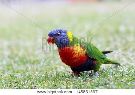 Rainbow Lorikeet Rainbow Lorikeet - Australian bird BIRDS in BACKYARDS