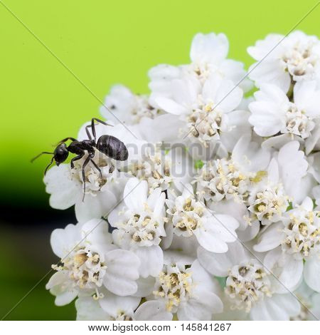 ant on a blade of grass on a white flowers close-up black ant
