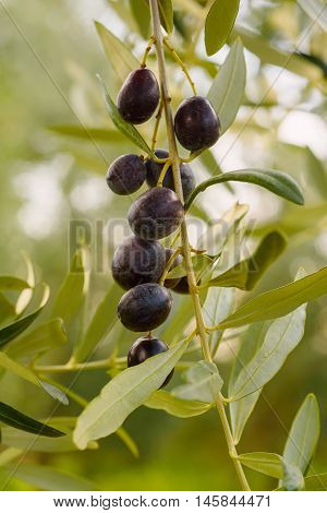 Branch of olive tree with fruits and leaves, natural agricultural food vintage hipster background