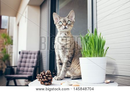 Pet grass, Cat grass. Beautiful Devon Rex cat is sitting on a private terrace. Cat is walking on a balcony and smelling the fresh air