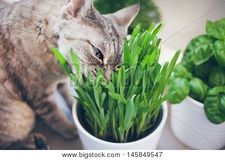 Cat is eating fresh green grass. Cat grass, pet grass