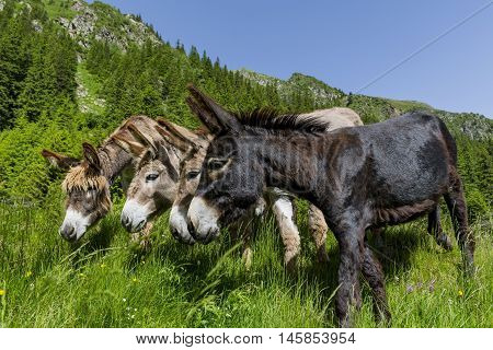 Four curious funny donkeys in Carpathian mountains