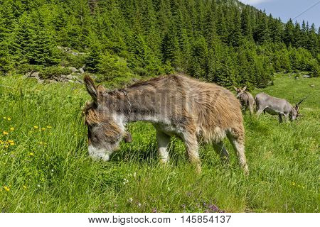 Beautiful brown colored donkey grazing in the bright green grass on a sunny day in the Carpathian Mountains
