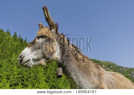 Funny brown donkey portrait near the mountains pineforest