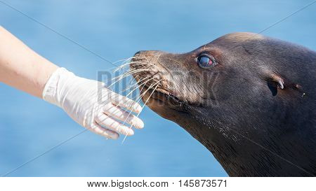 Adult sealion being treated by a veterinarian - Selective focus