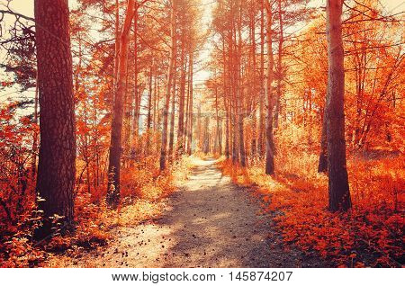 Forest sunny autumn landscape - row of autumn yellowed trees with autumn fallen leaves in the forest in sunny autumn weather.Picturesque landscape of sunny autumn forest nature. Soft filter applied