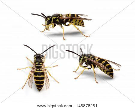Group of Eastern Yellowjacket worker wasps (Vespula maculifrons) isolated on a white background