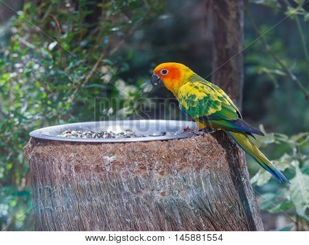 Sun Conure Is Sits On A Feeding Trough With Food