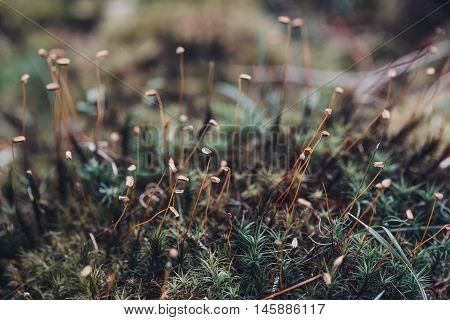 Closeup Moss Spores