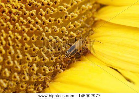 Orange and black Cucumber beetle on yellow sunflower stamin