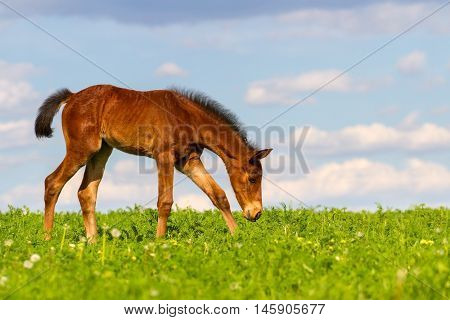 Smal cute colt walk on spring pasture
