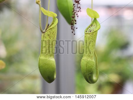 Nepenthes alata is a tropical pitcher plant endemic to the Philippines. It is carnivorous and uses its nectar to attract insects that drown in the pitcher and are digested by the plant.