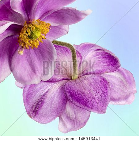 Close up view of two Anemones 0n a blue background