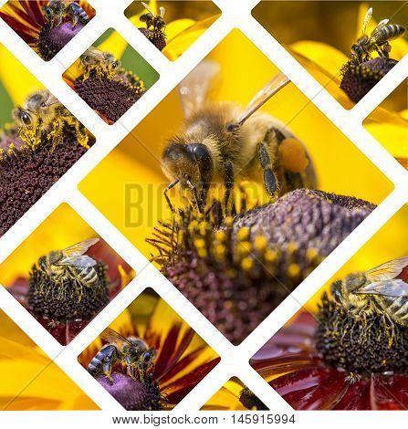 Collage Of Western Honey Bee Images - Travel Background (my Photos)