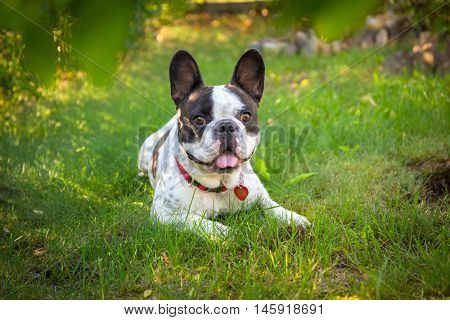 French bulldog in the garden