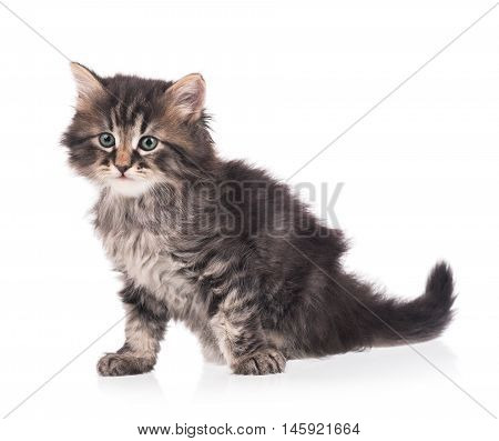 Cute siberian kitten isolated on a white background cutout