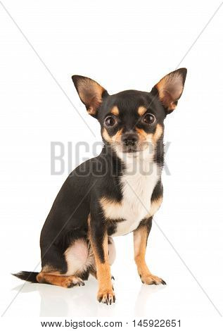Chihuahua dog sitting isolated over white background