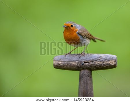 Red robin (Erithacus rubecula) perched on the handle of a shovel. This bird is a regular companion during gardening pursuits poster