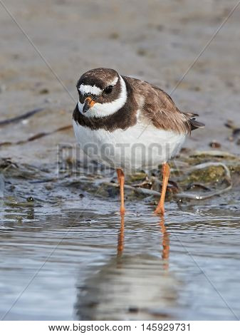 Common ringed plover (Charadrius hiaticula) plover looking for food in its natural habitat