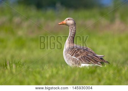 Greylag Goose Feeding On Grass