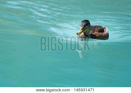 female duck swimming on cyan water with little reflection