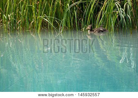 baby duck swims along grass in clean nature river