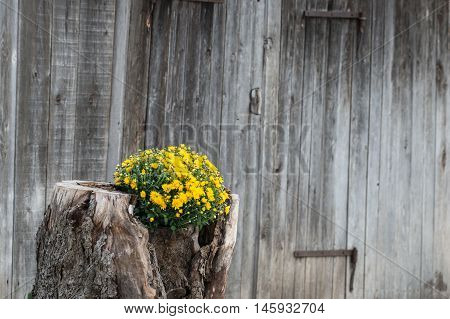 tree stump growing out yellow flowers with wooden wall in background