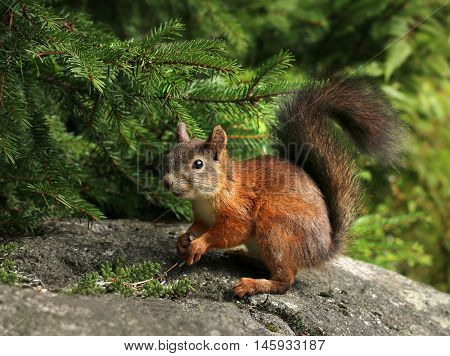 Cute red squirrel under a spruce branch in green forest