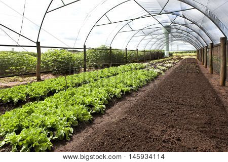 Organic agriculture in greenhouses. Ready for harvest