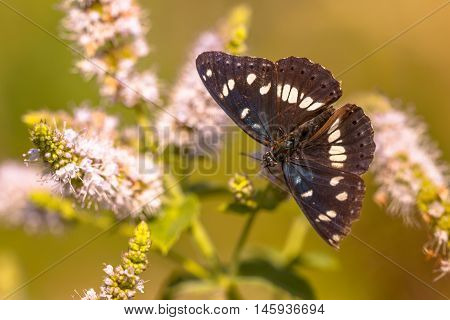 Southern White Admiral Butterfly (limenitis Reducta) Feeding On Nectar