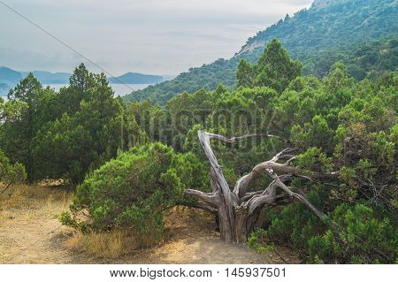 Views os the Crimean Mountains of juniper trees in cloudy weather