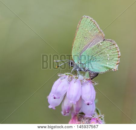 Green Hairstreak (callophrys Rubi) Butterfly With Green Camouflage Color