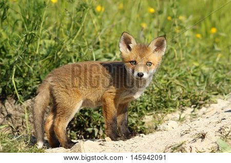cute red fox cub looking at the camera ( Vulpes ) image taken on wild animal near the den