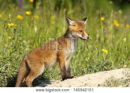 red fox baby standing near the den ( Vulpes )