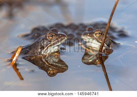 Two Common Frogs  With Spawn