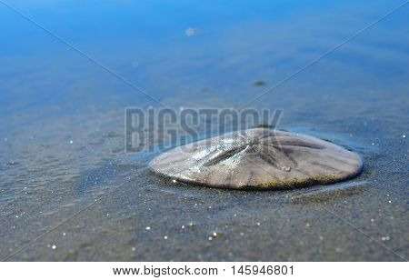 Sand dollar resting on wet ocean beach sand.  Scenic travel destination Pacific Northwest ocean beach.  Seaside beach scenes.  Concept of peace, tranquility, travel and leisure.