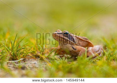 Vibrant Colored Agile Frog