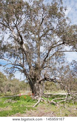 Large bushland tree with wildflowers in the lush landscape under a blue sky with clouds in Western Australia.