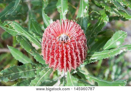 Bright pink banksia pendant with serrated green foliage of the native bushland plant in Western Australia.