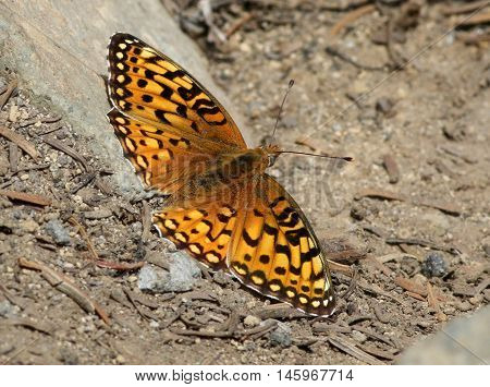 Mormon Fritillary butterfly (Speyeria mormonia) at Mount Rainier National Park