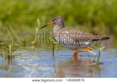 Wading Common Redshank