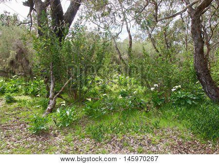 White calla lily flowers growing wild in natural bushland landscape in Bibra Lake, Western Australia.