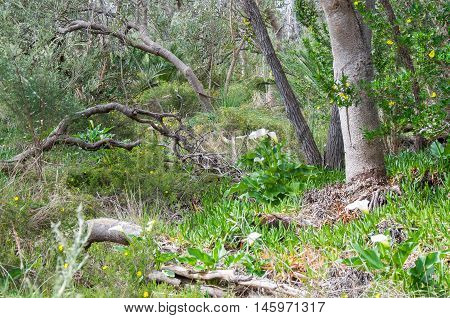 White calla lily flowers growing uncultivated in natural bushland reserve with trees and wild branches in Bibra Lake, Western Australia.