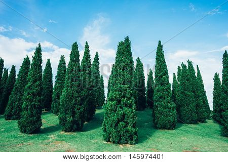 Small pine trees growing on a slope