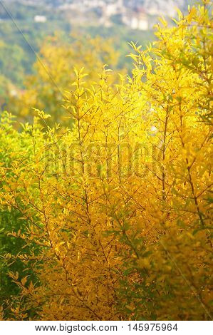 Pomegranate tree with bright yellow foliage in  autumn