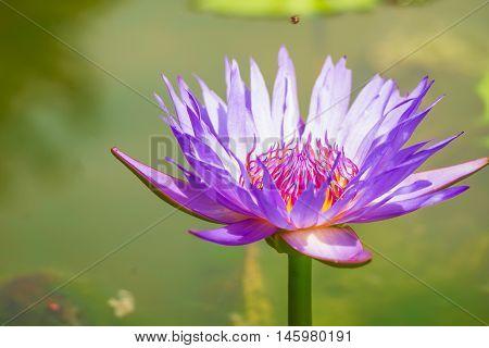 Purple Lotus in the bath the morning sun shine day