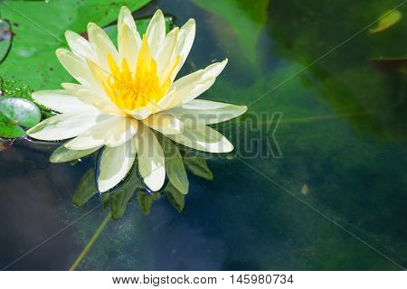 White lotus in the bath the morning sun shine day