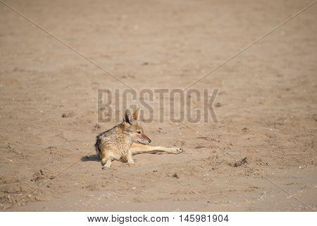 Black Back Jackal On The Sand